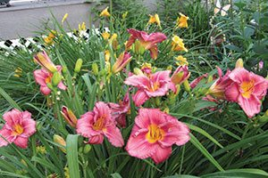 rosy returns daylily hemerocallis catalog