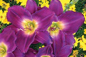 strutter's ball daylily hemerocallis catalog