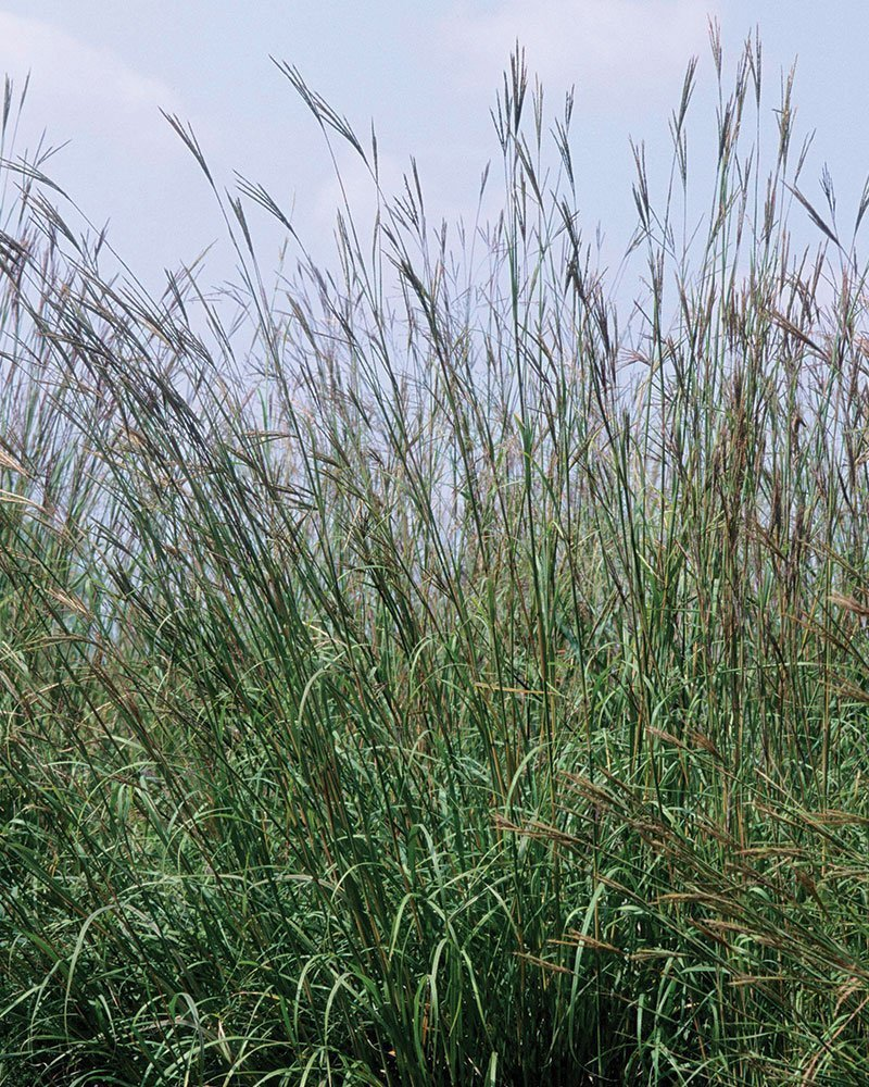 grass sedge comparison selecting grasses ornamental perennials big bluestem ftimg