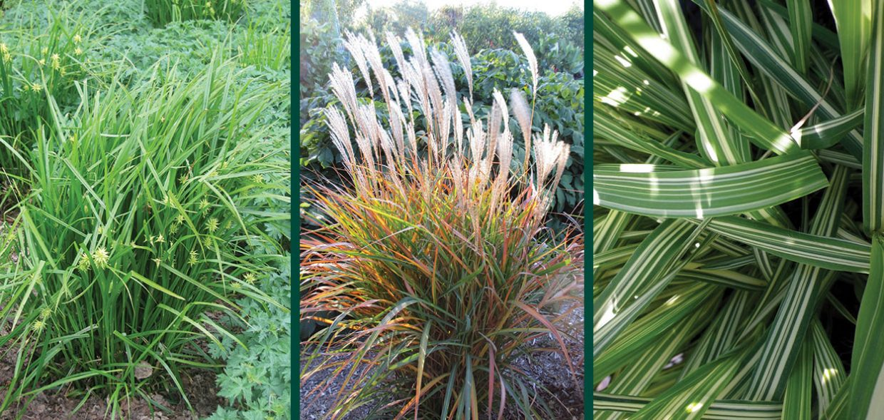 grass sedge comparison selecting grasses ornamental perennials carex miscanthus molina 1