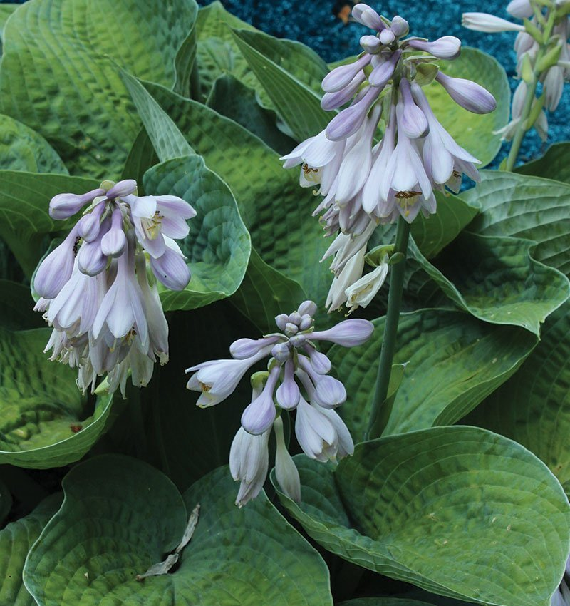 hosta comparison chart selecting hostas ornamental perennials big daddy ftimg