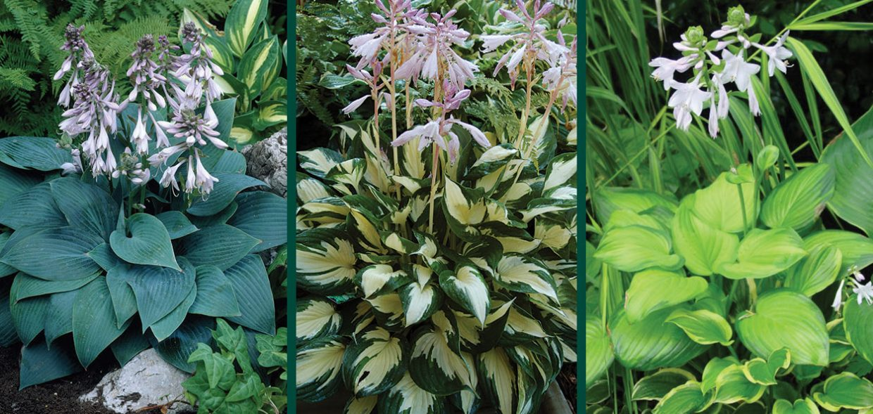 hosta comparison chart selecting hostas ornamental perennials various shapes sizes