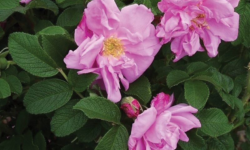 rose comparison chart selecting roses ornamental shrubs rugosa belle pointevine