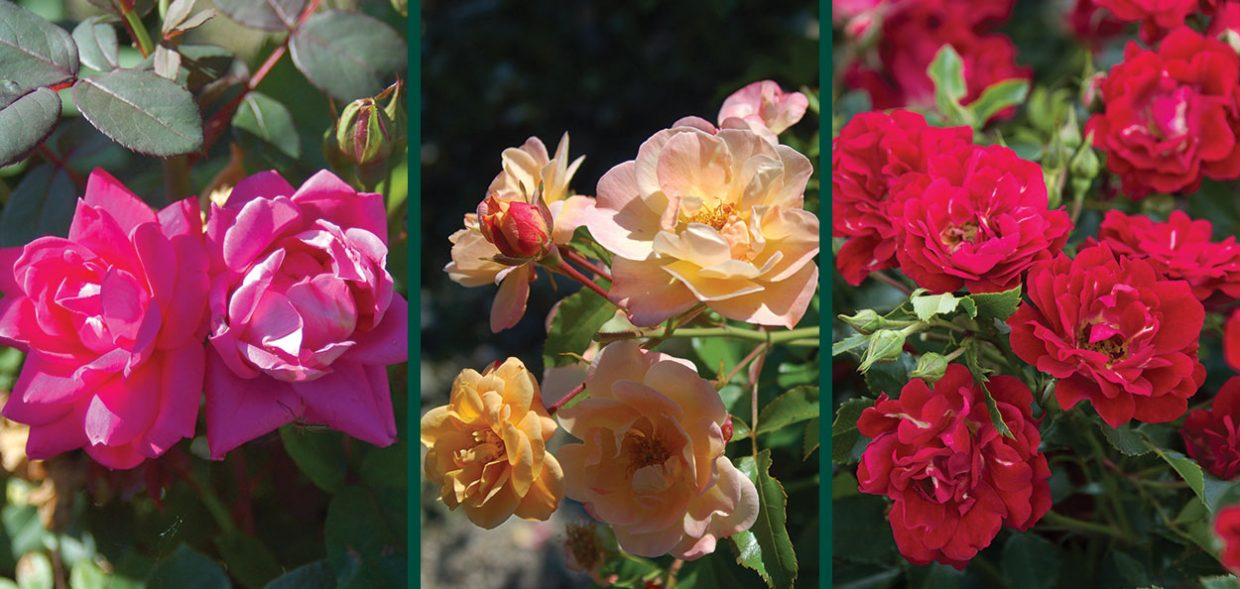 rose comparison knockout flower carpet drift series