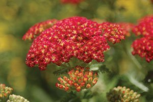 strawberry seduction yarrow achillea millefolium catalog