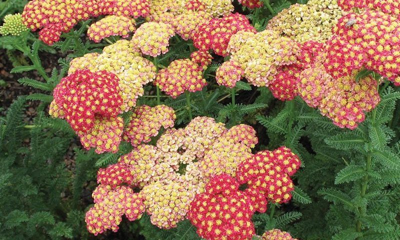 yarrow lore achillea greek achilles herbal garrw tea guide ftimg