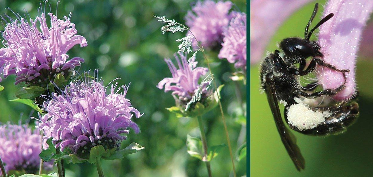 monarda fistulosa wild bergamot dufourea monardae