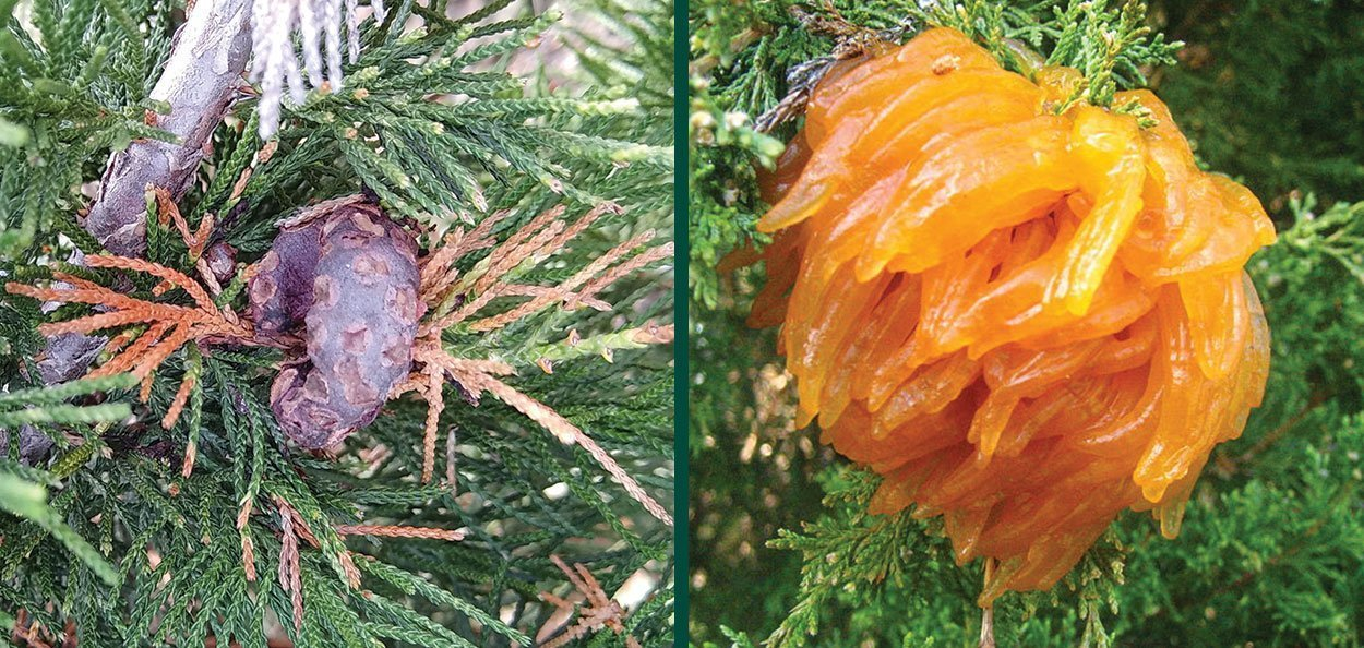 cedar apple rust gall on juniper rust sporangium