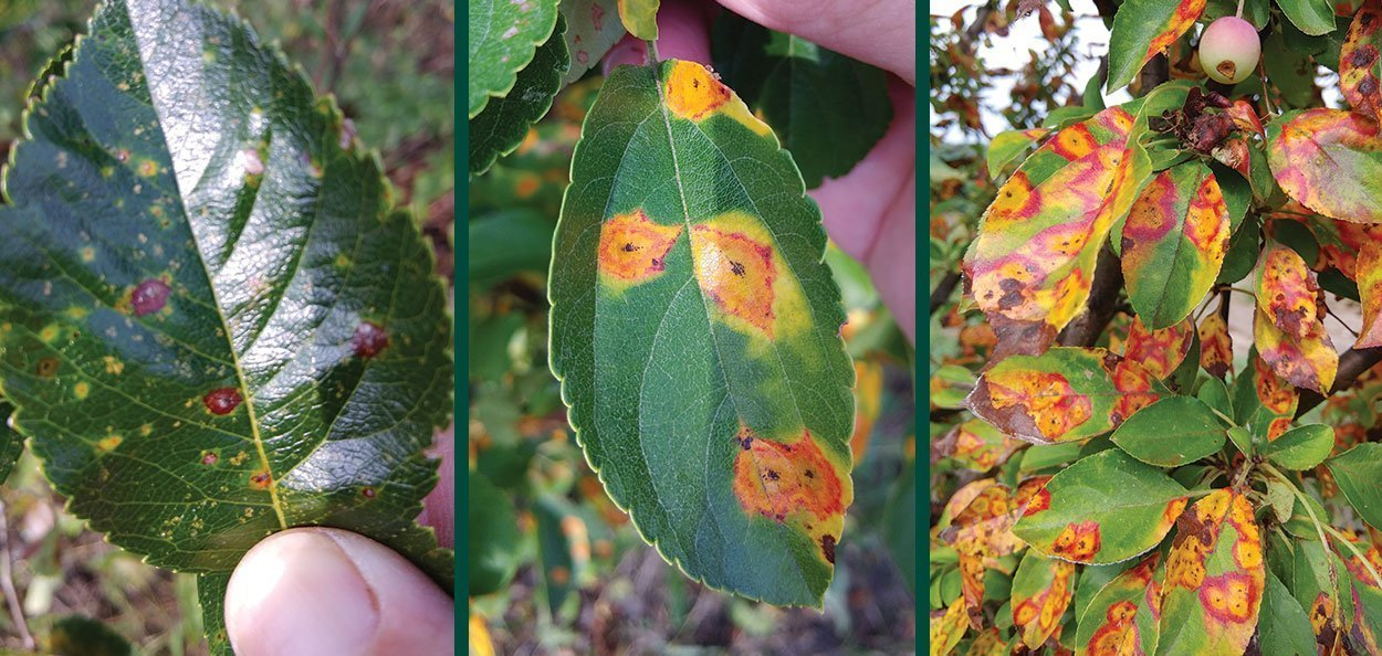 cedar apple rust on hawthorn severe