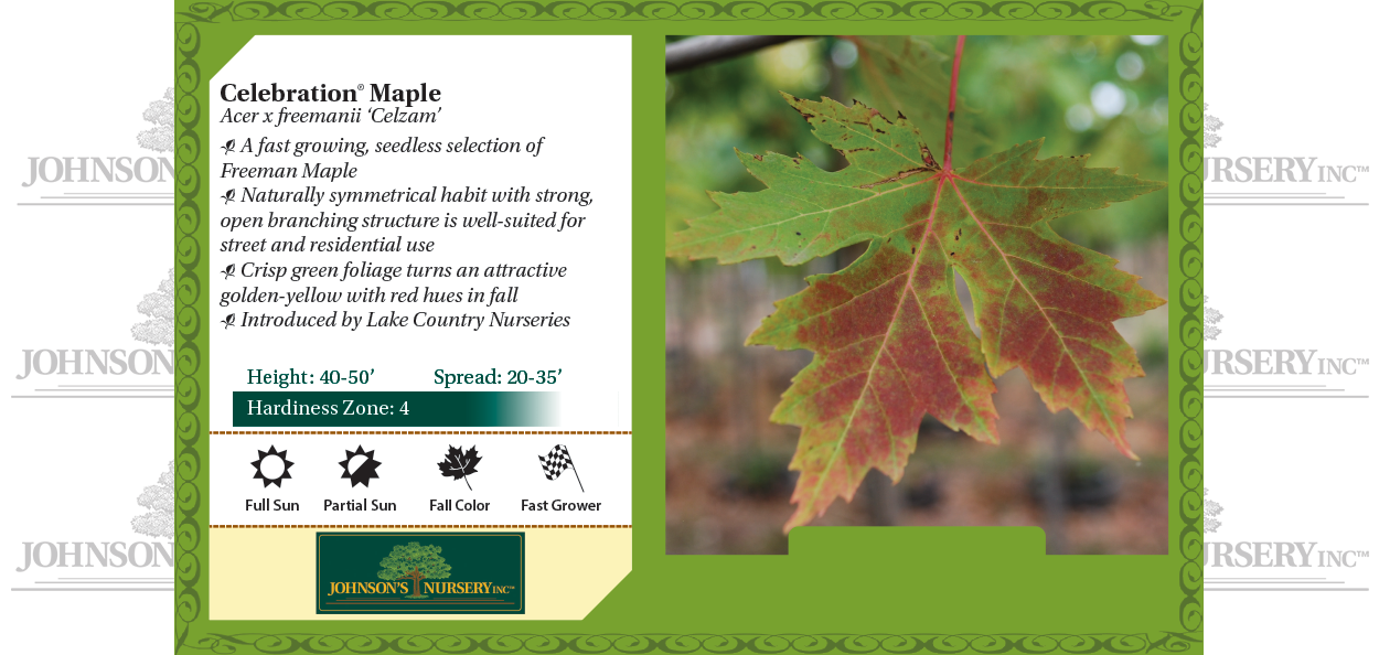 Celebration® Maple Acer x freemanii 'Celzam' benchcard