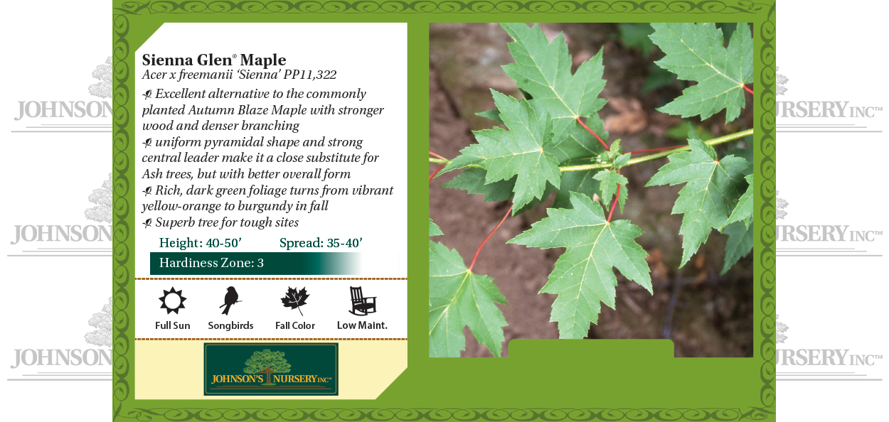 Sienna Glen® Maple Acer x freemanii 'Sienna' PP11,322 benchcard