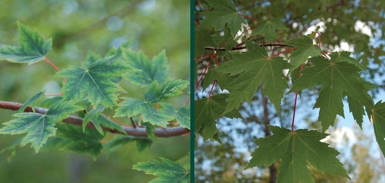 sienna glen maple acer x freemanii sienna leaves