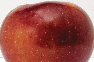 connell red apple malus domestica catalog