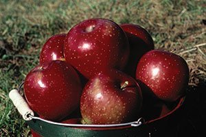 haralred apple malus domestica lautz catalog