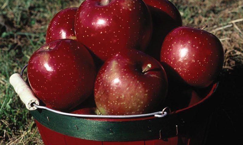 haralred apple malus domestica lautz ftimg