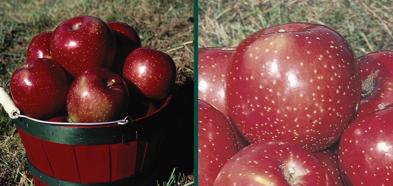 haralred apple malus domestica lautz