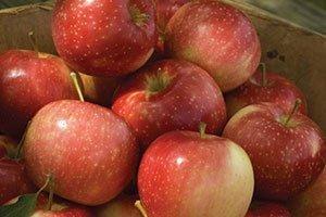 kinderkrisp apple malus catalog