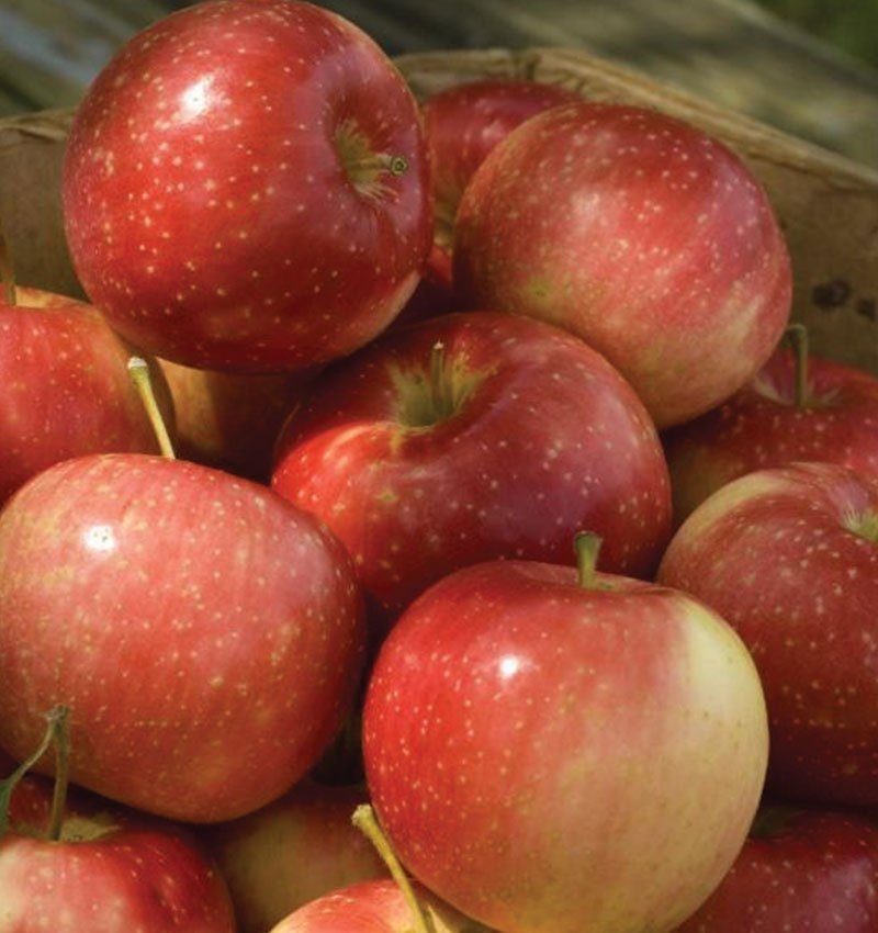 kinderkrisp apple malus ftimg