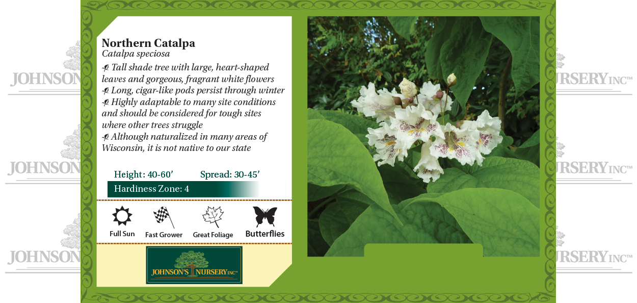 Northern Catalpa Catalpa speciosa benchcard