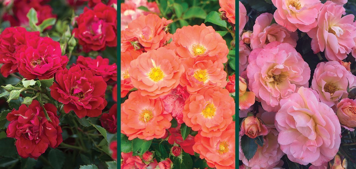 drift roses groundcover rose low maintenance johnson's nursery menomonee falls