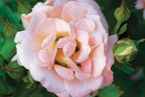 peach drift rose rosa catalog