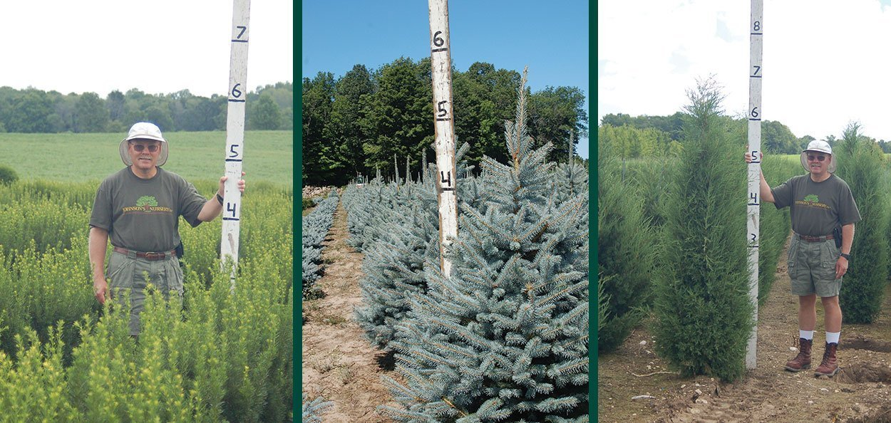 understanding nursery stock sizes shrubs evergreens measured in height field plant harvest paul schwabe
