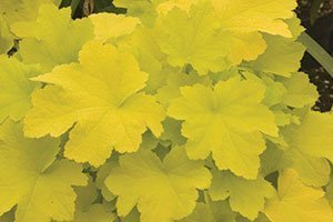 find citronelle coralbells near you
