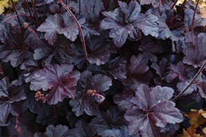 find obsidian coralbells near you