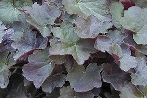 find palace purple coralbells near you