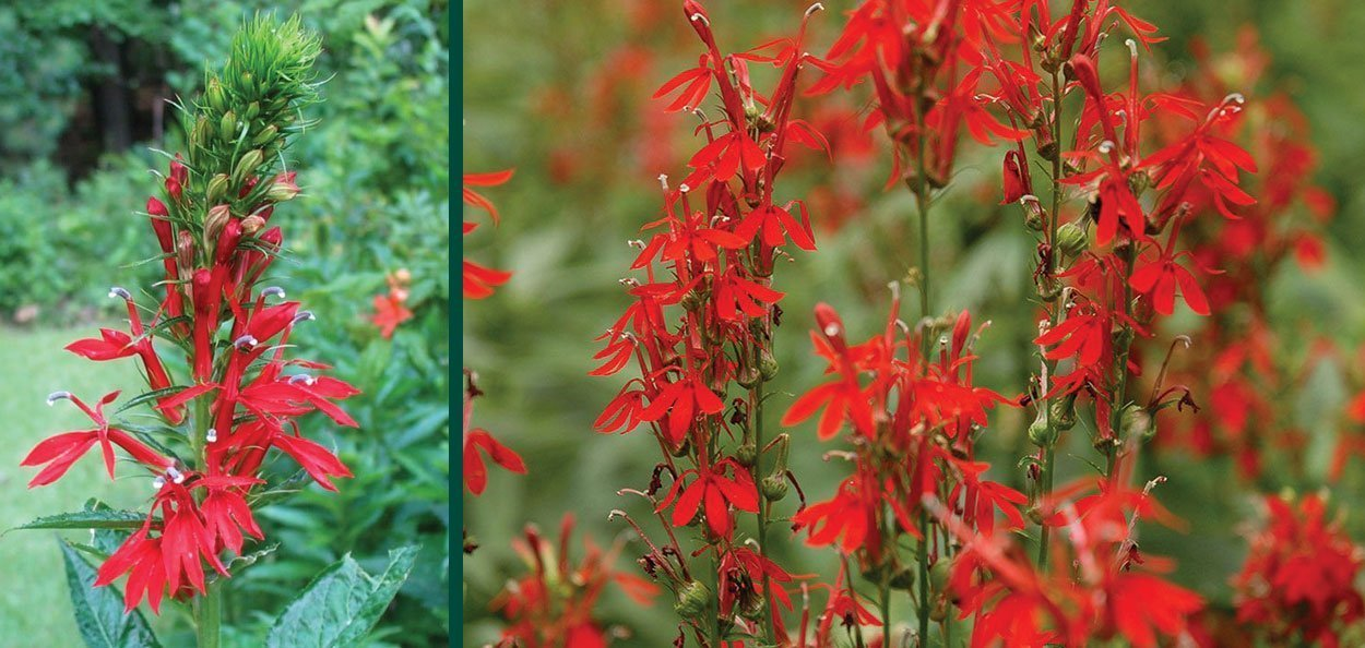 cardinal flower lobelia cardinalis red flower bloom wisconsin native