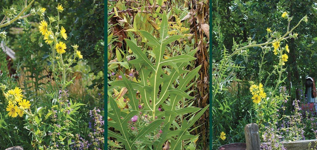 compass plant silphium laciniatum wisconsin native perennial tall summer blooming yellow wildflower