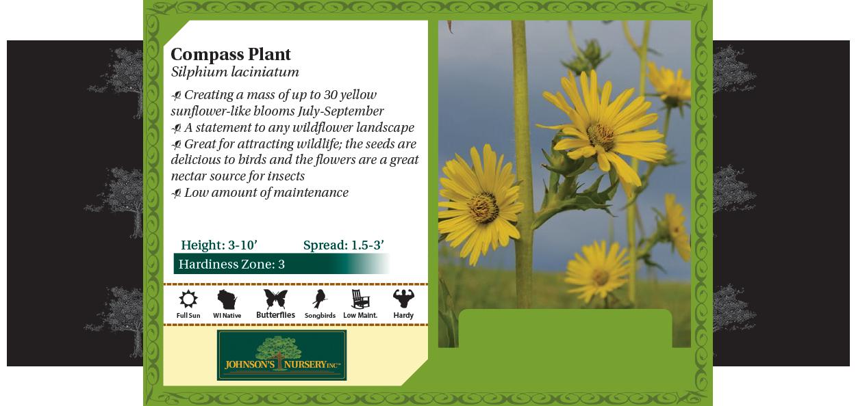 Compass Plant, Pilot Plant Silphium Laciniatum benchcard