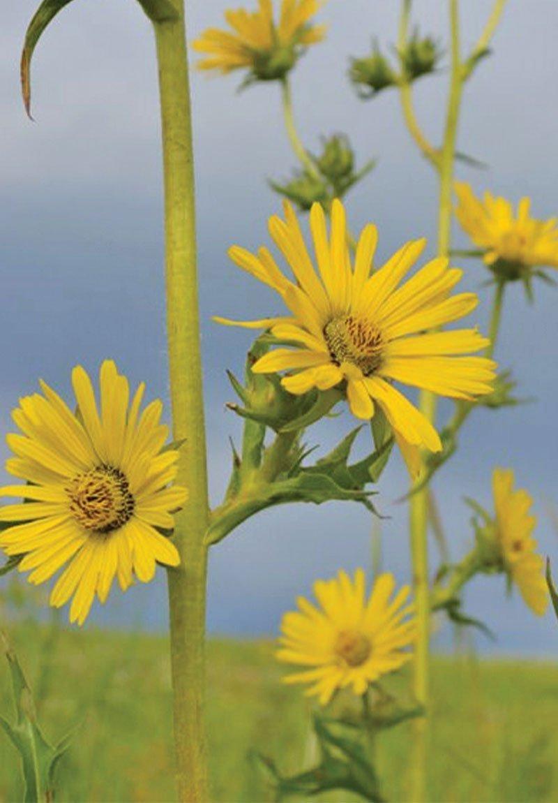 compass plant silphium laciniatum wisconsin native perennial yellow wildflower ftimg