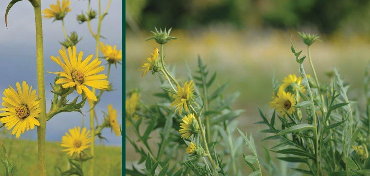 compass plant silphium laciniatum wisconsin native perennial yellow wildflower