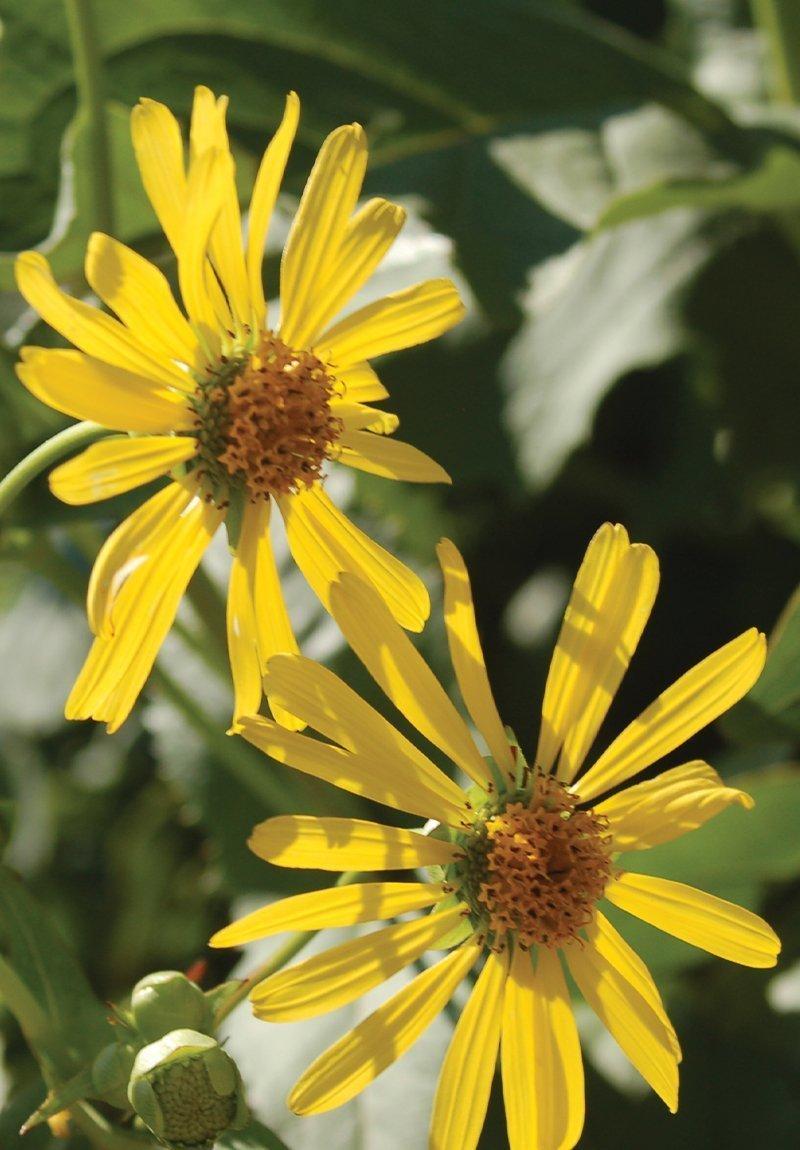 cup plant silphium perfoliatum wisconsin native flower perennial ftimg