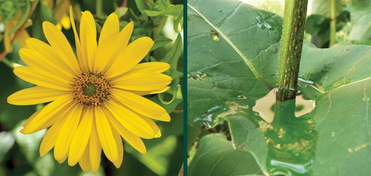 cup plant silphium perfoliatum yellow flower bee butterflie hummingbird water