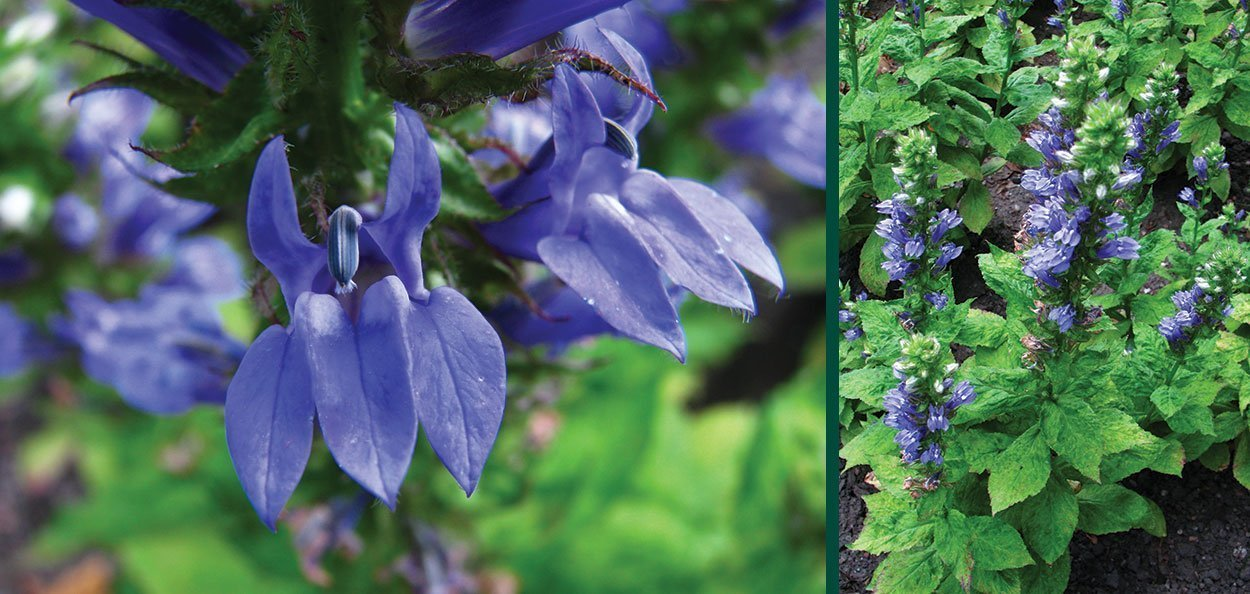 great blue lobelia siphilitica blue flower perennial wisconsin native plant