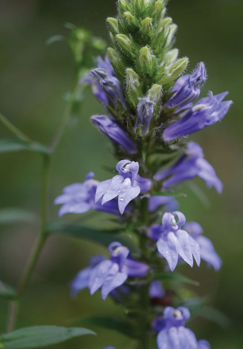 great blue lobelia siphilitica wisconsin native plant summer bloom blue flower ftimg2