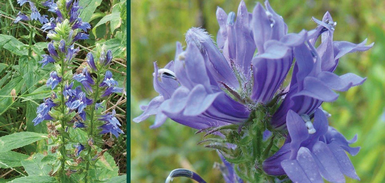 great blue lobelia siphilitica wisconsin native plant summer bloom blue flower