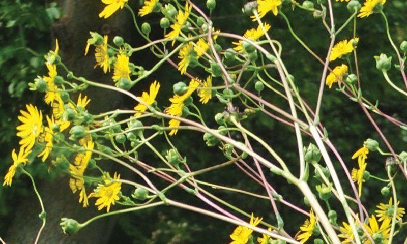prairie dock silphium terebinthinaceum wisconsin native perennial fall bloom yellow flower ftimg