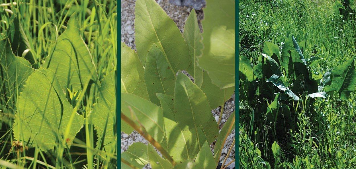 prairie dock silphium terebinthinaceum wisconsin native perennial fern wide leaves foliage