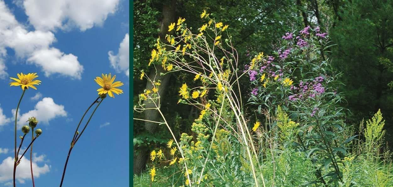 prairie dock silphium terebinthinaceum wisconsin native perennial tall yellow blooms taproot