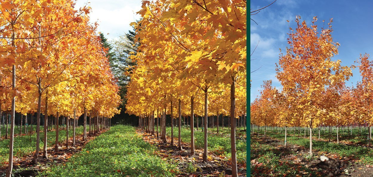 sugar maple acer saccharum wisconsin native tree yellow fall color growing fields
