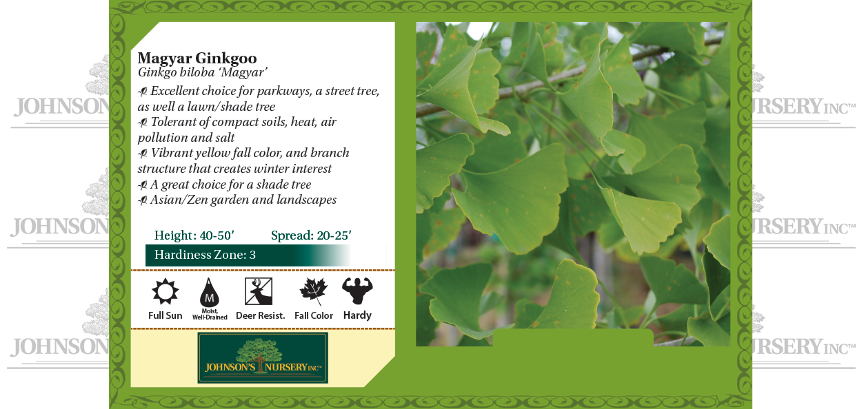 Maidenhair Tree Ginkgo biloba 'Magyar' benchcard