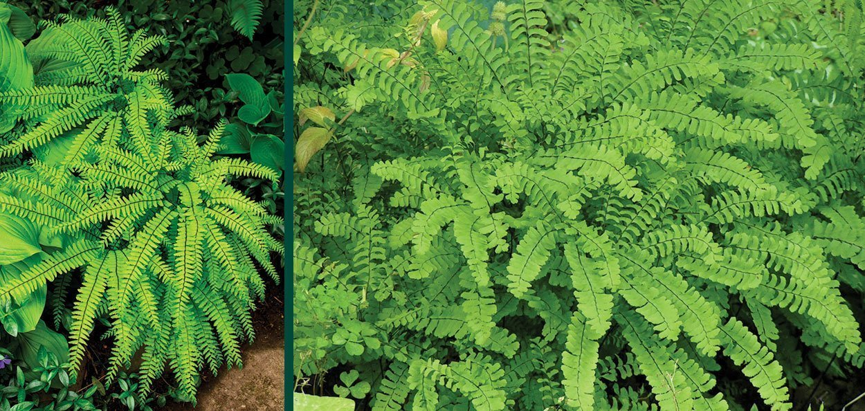 maidenhair fern adiantum pedatum wisconsin native perennial ferns shade plants natives