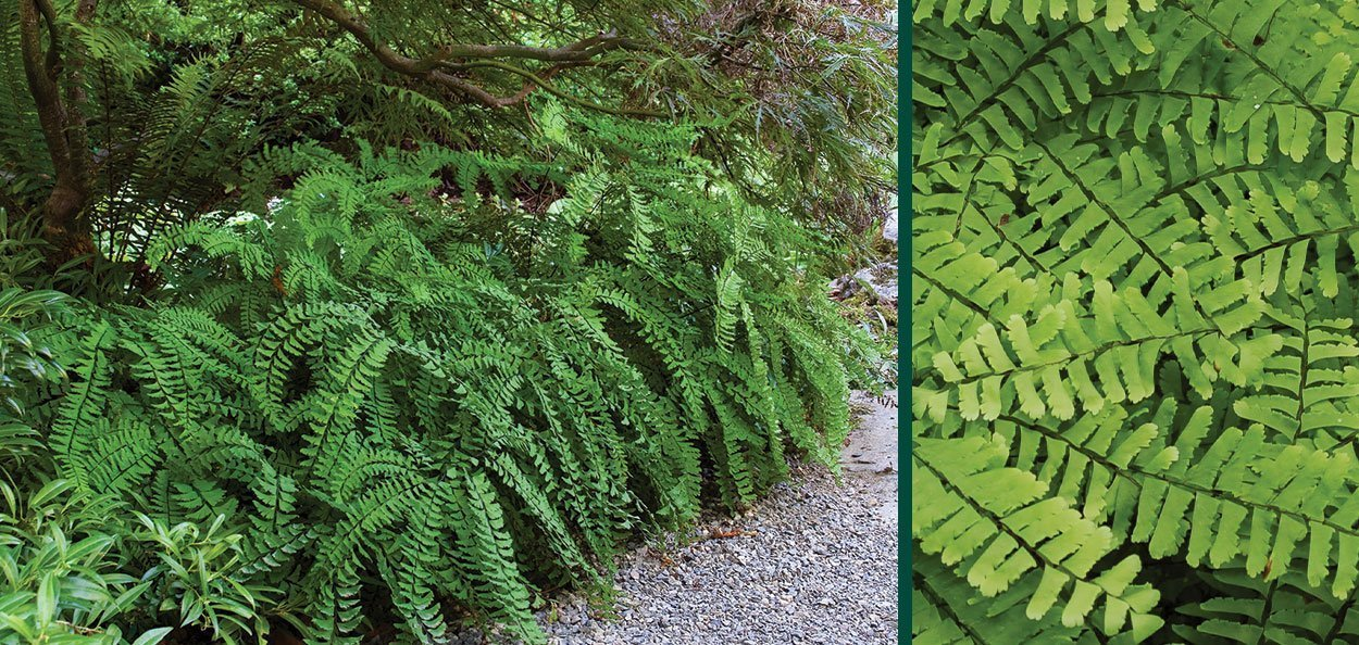 maidenhair fern adiantum pedatum wisconsin native perennial ferns understory natives for shade