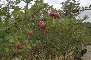 johnson's nursery fruit trees how big are they fruit trees in the yard 2021