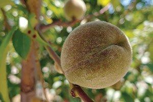 johnson's nursery fruit trees peach tree fruit forming 2021