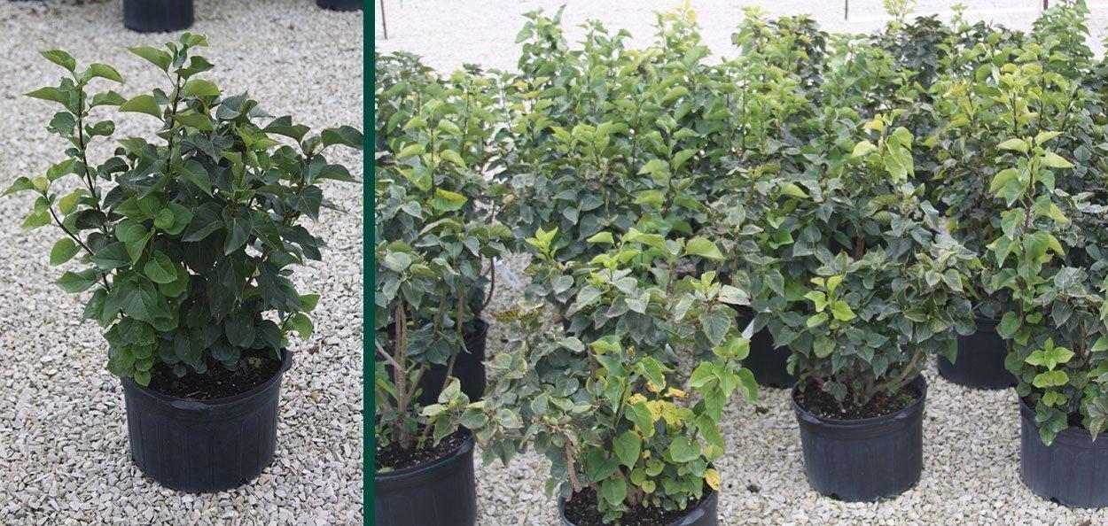 find lilac shrubs for sale near you at johnson's nursery menomonee falls wisconsin