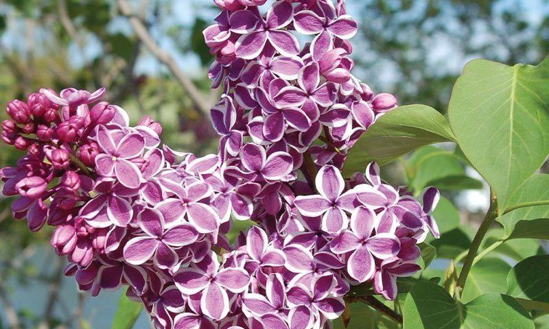 johnson's nursery menomonee falls wisconsin lilac lilacs shrubs for sale near you ftimg